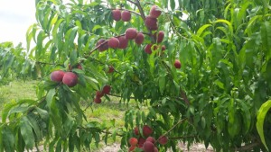 RIG peaches