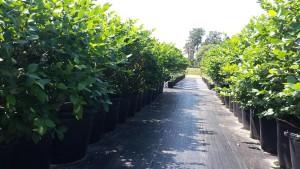 RIG plants