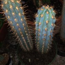 Cactus and Exotics
